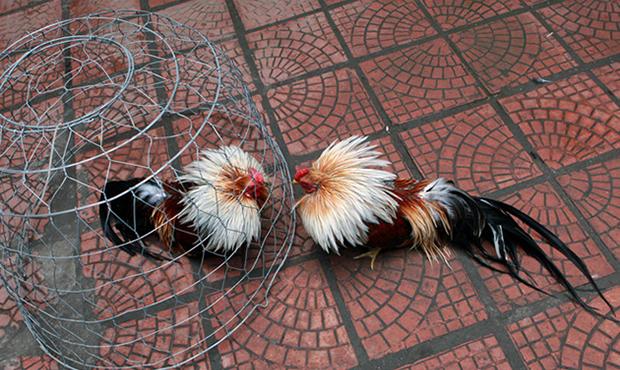 Cho gà quần bội thường xuyên để giúp gà tăng thể lực